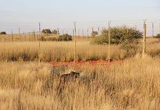 Cheetah, Namibia. Cheetah walking in the savannah near a fence,Namibia Stock Images