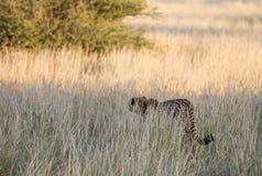Cheetah, Namibia. Cheetah walking on the savannah at the sunset Stock Photo