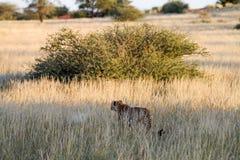 Cheetah, Namibia. Cheetah walking on the savannah at the sunset Stock Images