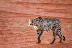 Cheetah, Namibia. Cheetah walking on the savannah at the sunset Stock Photography