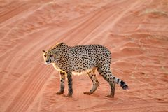 Cheetah, Namibia. Cheetah walking on the savannah at the sunset Royalty Free Stock Images