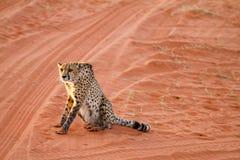 Cheetah, Namibia. Cheetah walking on the savannah at the sunset Royalty Free Stock Photo
