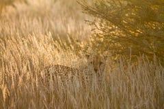 Cheetah, Namibia. Cheetah walking on the savannah at the sunset Stock Photos