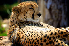 Cheetah Napping near tree stock photography