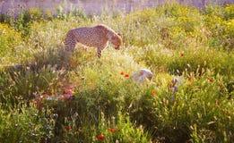 Cheetah in natural environment royalty free stock image