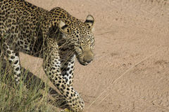 Cheetah. In the Serengeti, Tanzania Stock Image