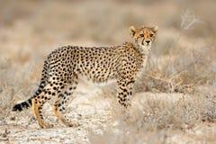 Cheetah in natural habitat. Young cheetah Acinonyx jubatus in natural habitat, Kalahari desert, South Africa royalty free stock images