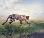 Cheetah near pond Stock Photo
