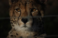 Cheetah at night Royalty Free Stock Photo