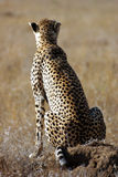 Cheetah observing savanna Stock Photo