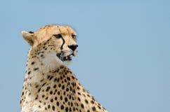 Cheetah och sky Arkivfoto