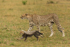 Cheetah with one cub Stock Photo