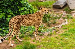 Cheetah outdoors. Beautiful cheetah walking an outdoors Stock Photos