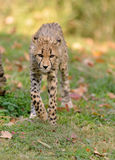 Cheetah på kringstrykandet Arkivbild