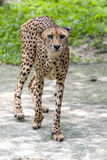 A cheetah pacing in an enclosure at the Singapore Zoo in Singapore. Singapore Zoo is 26 hectares in area and has more than 2,800 animals representing over 300 Royalty Free Stock Photography