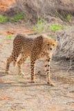 Cheetah on the pad. Cheetah on the hunt in the Kalahari desert of Kgalagadi National Park, South Africai Royalty Free Stock Photos