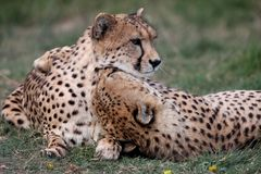Cheetah Pair Stock Photography