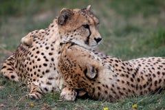 Cheetah Pair Stock Photography