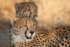 Cheetah pair Royalty Free Stock Photo
