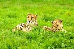 Cheetah Pair Stock Image