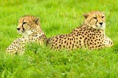 Cheetah Pair Stock Photo