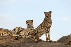 Cheetah pair sitting Stock Images