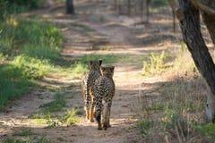 Cheetah Pair Royalty Free Stock Image