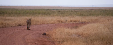 Cheetah Path Stock Photography
