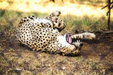 A Cheetah is playing Stock Image
