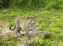 Cheetah playing with log Royalty Free Stock Photos