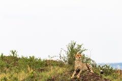 cheetah Point de vue dans la savane Masai Mara, Kenya photos stock