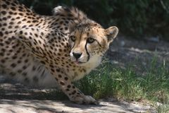 Cheetah Poised to Strike Patiently Waiting in a Crouch royalty free stock photos