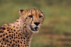 Cheetah Portait royalty free stock photo