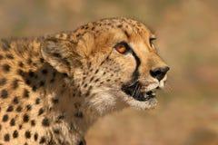 Cheetah portait. Portrait of a cheetah (Acinonyx jubatis), South Africa royalty free stock photos