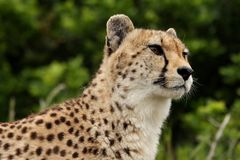 Cheetah Portrait. Portrait of a Cheetah wild cat from Africa Stock Photo