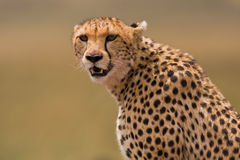 Cheetah portrait. Portrait of a spotted cheetah Stock Photography