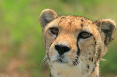 Cheetah portrait. Portrait of a cheetah showing her beautiful brown eye's Stock Images
