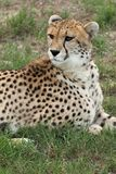 Cheetah Portrait. Portrait of a beautiful cheetah wild cat Stock Photo