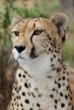 Cheetah Portrait. Portrait of a majestic cheetah wild cat Royalty Free Stock Image