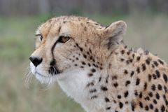 Cheetah Portrait. Portrait of a handsome cheetah wild cat Stock Images
