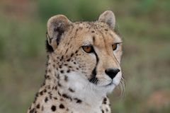 Cheetah Portrait. Portrait of a handsome cheetah wild cat Stock Photos