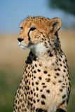 Cheetah portrait. Portrait of a cheetah (Acinonyx jubatus) sitting upright, South Africa Stock Photo