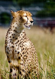 Cheetah portrait. Sitting alert in grassland Stock Photography