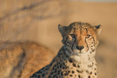 Cheetah portrait. Fastest land animal. Slender body, long legs, distinctly rounded head with small rounded ears. Strongly black-spotted coat on a buffy-white Royalty Free Stock Photography