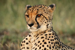 Cheetah portrait. Close up of a majestic cheetah male Royalty Free Stock Photo
