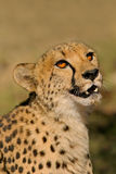 Cheetah portrait. Portrait of a cheetah (Acinonyx jubatus), South Africa Stock Photography