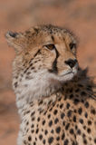 Cheetah portrait. Fastest land animal. Slender body, long legs, distinctly rounded head with small rounded ears. Strongly black-spotted coat on a buffy-white Stock Photo