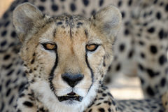 Cheetah portrait. Looking into the eyes Royalty Free Stock Image