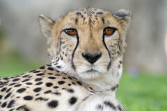 Cheetah portrait. Looking into the eyes Stock Images
