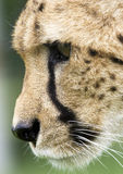 Cheetah Portrait. Intense focus wild Cheetah portrait Royalty Free Stock Images